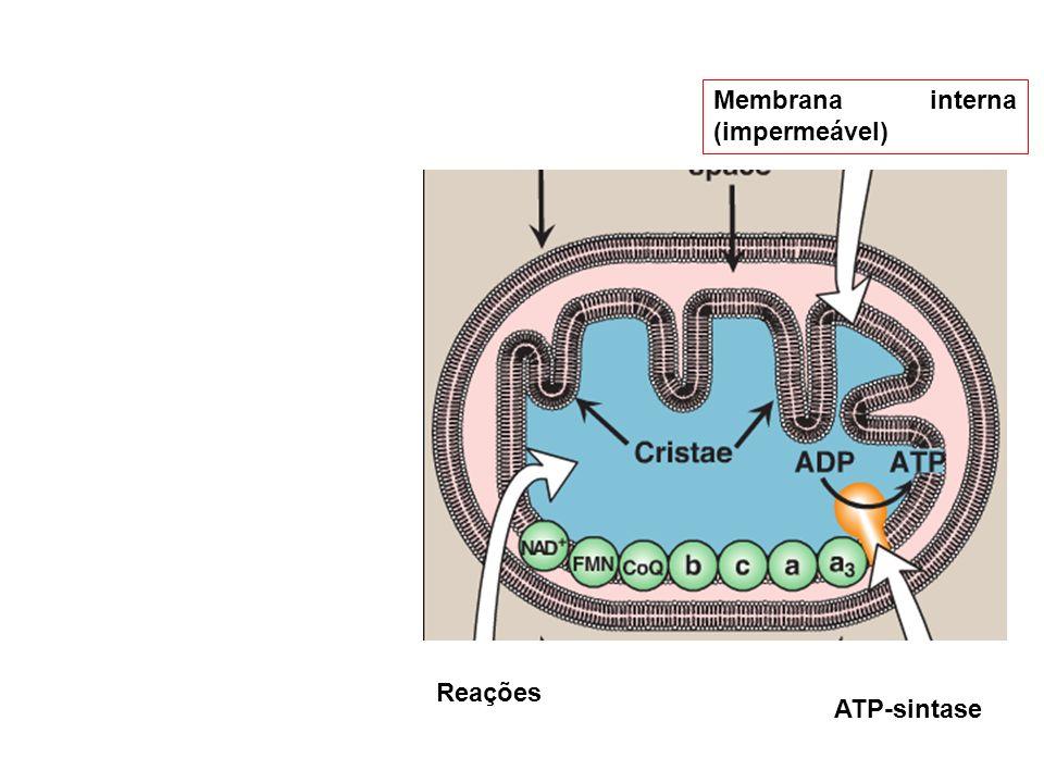 Membrana interna (impermeável) ATP-sintase Reações