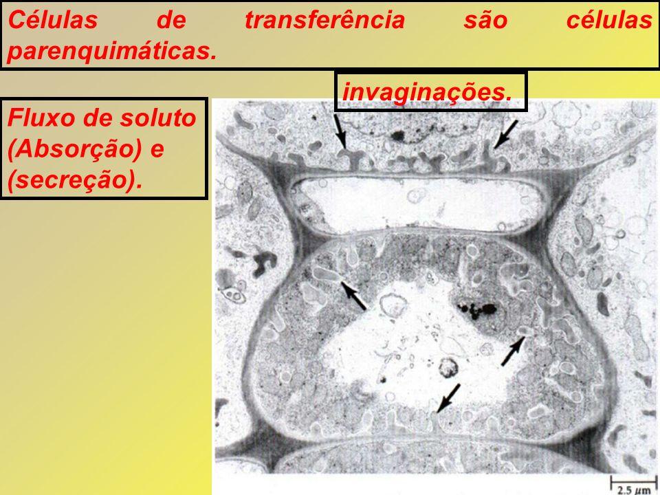 Células de transferência são células parenquimáticas. invaginações. Fluxo de soluto (Absorção) e (secreção).
