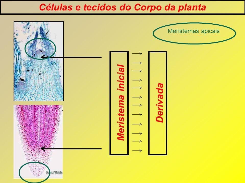 Células e tecidos do Corpo da planta Meristema inicialDerivada Meristemas apicais