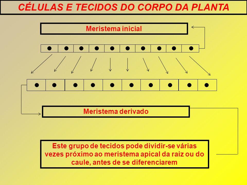 Meristema inicial Meristema derivado CÉLULAS E TECIDOS DO CORPO DA PLANTA Este grupo de tecidos pode dividir-se várias vezes próximo ao meristema apic