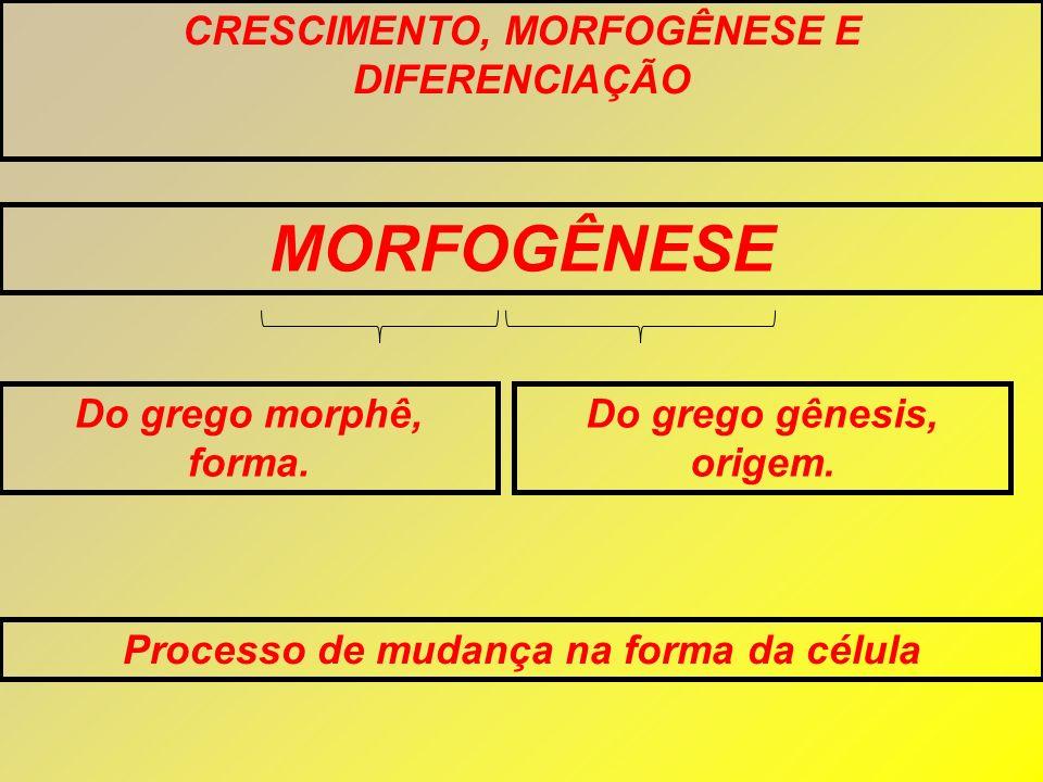 CRESCIMENTO, MORFOGÊNESE E DIFERENCIAÇÃO MORFOGÊNESE Do grego morphê, forma. Do grego gênesis, origem. Processo de mudança na forma da célula