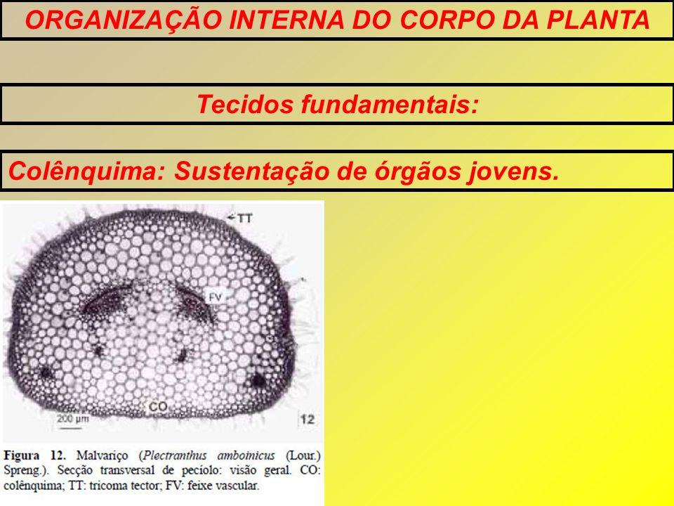 ORGANIZAÇÃO INTERNA DO CORPO DA PLANTA Tecidos fundamentais: Esclerênquima: Confere resistência a e sustenta órgãos de plantas que não estão se alongando.