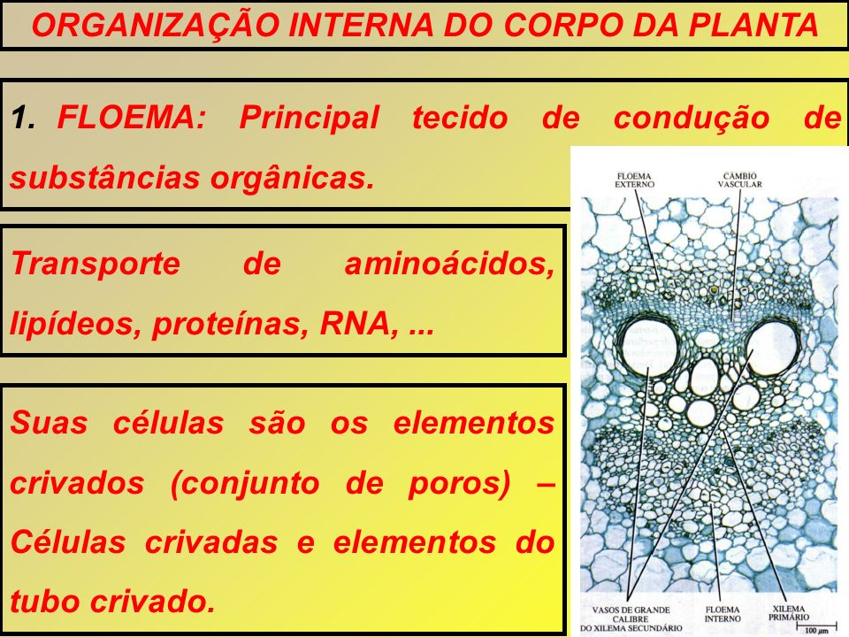 1.FLOEMA: Principal tecido de condução de substâncias orgânicas. ORGANIZAÇÃO INTERNA DO CORPO DA PLANTA Transporte de aminoácidos, lipídeos, proteínas