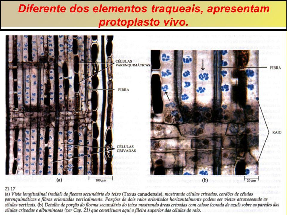 Diferente dos elementos traqueais, apresentam protoplasto vivo.