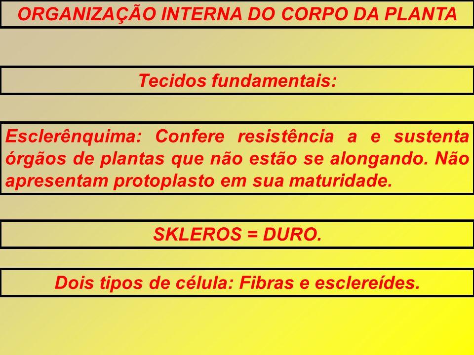 ORGANIZAÇÃO INTERNA DO CORPO DA PLANTA Tecidos fundamentais: Esclerênquima: Confere resistência a e sustenta órgãos de plantas que não estão se alonga