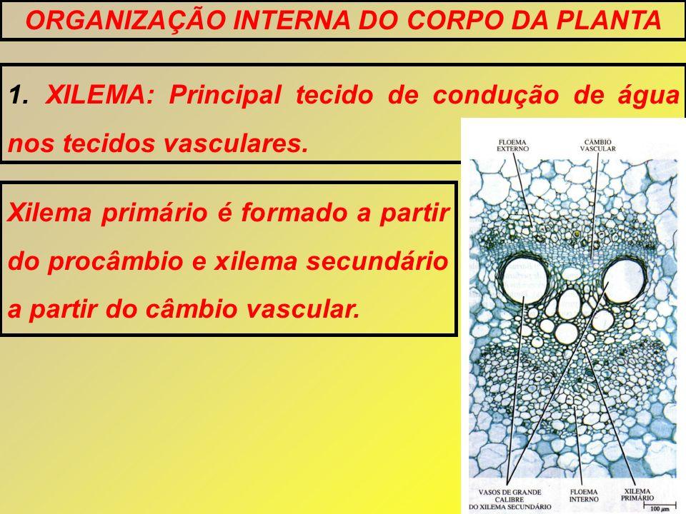 1.XILEMA: Principal tecido de condução de água nos tecidos vasculares. ORGANIZAÇÃO INTERNA DO CORPO DA PLANTA Xilema primário é formado a partir do pr