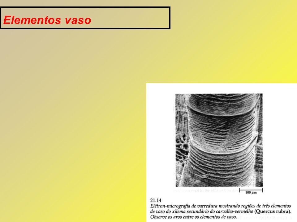 1.FLOEMA: Principal tecido de condução de substâncias orgânicas.