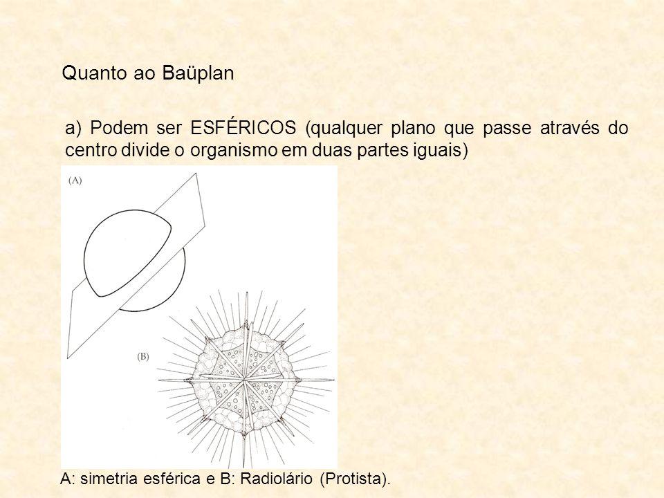 Quanto ao Baüplan a) Podem ser ESFÉRICOS (qualquer plano que passe através do centro divide o organismo em duas partes iguais) A: simetria esférica e