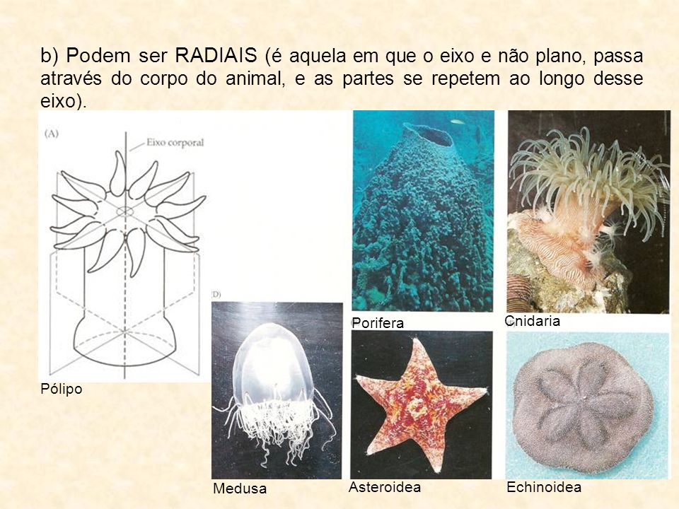 b) Podem ser RADIAIS ( é aquela em que o eixo e não plano, passa através do corpo do animal, e as partes se repetem ao longo desse eixo). Pólipo Medus