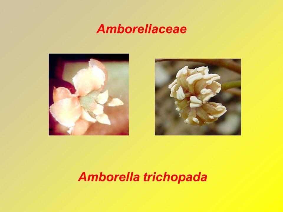 Amborellaceae Amborella trichopada
