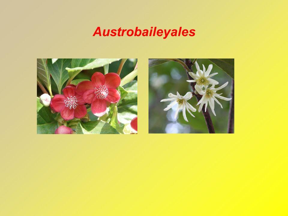 Austrobaileyales