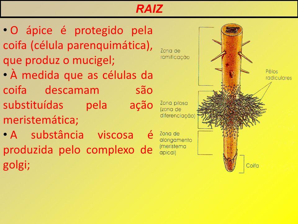 O ápice é protegido pela coifa (célula parenquimática), que produz o mucigel; À medida que as células da coifa descamam são substituídas pela ação meristemática; A substância viscosa é produzida pelo complexo de golgi; RAIZ