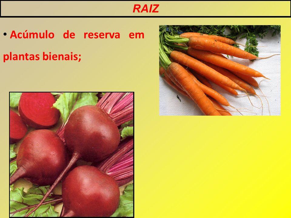 Acúmulo de reserva em plantas bienais; RAIZ