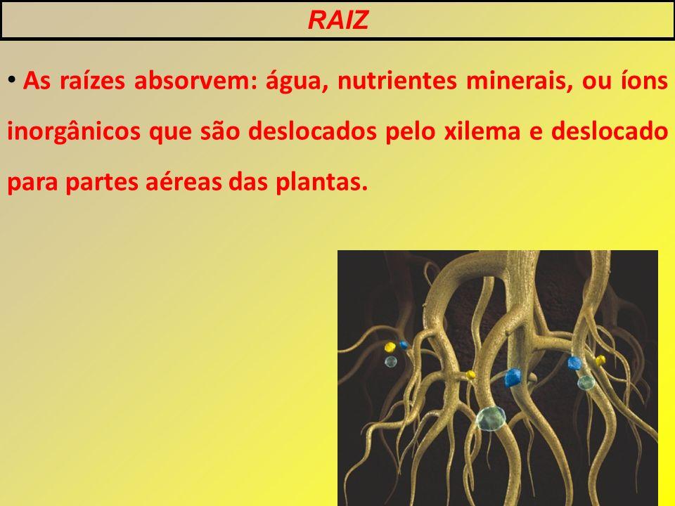 As raízes absorvem: água, nutrientes minerais, ou íons inorgânicos que são deslocados pelo xilema e deslocado para partes aéreas das plantas.
