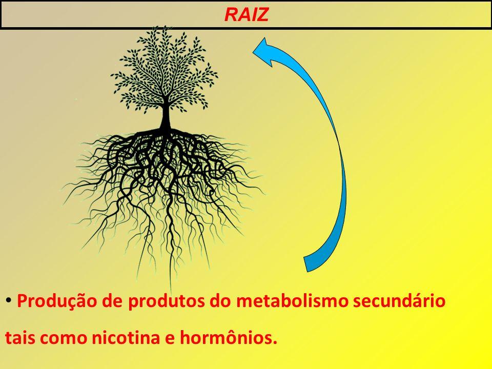Produção de produtos do metabolismo secundário tais como nicotina e hormônios. RAIZ