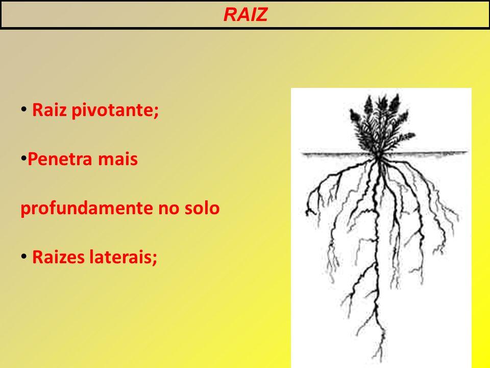 RAIZ Raiz pivotante; Penetra mais profundamente no solo Raizes laterais;