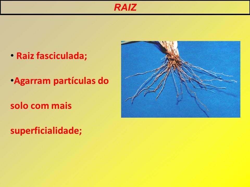 RAIZ Raiz fasciculada; Agarram partículas do solo com mais superficialidade;