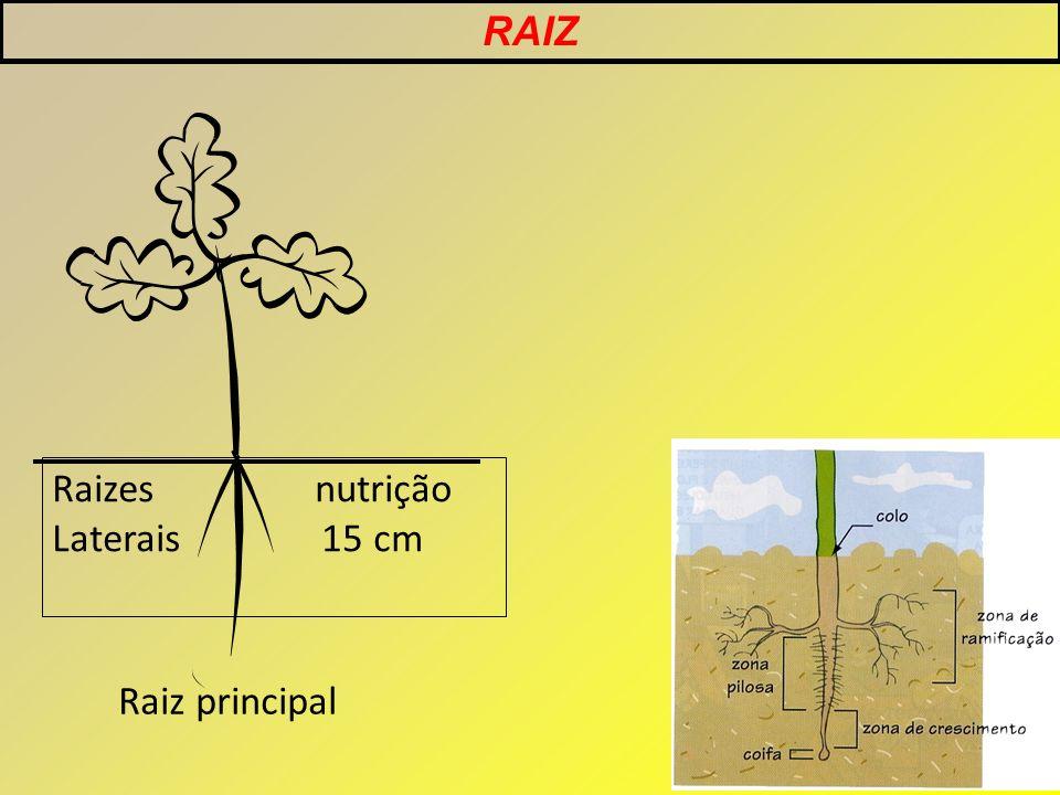 RAIZ Raiz principal Raizes nutrição Laterais 15 cm