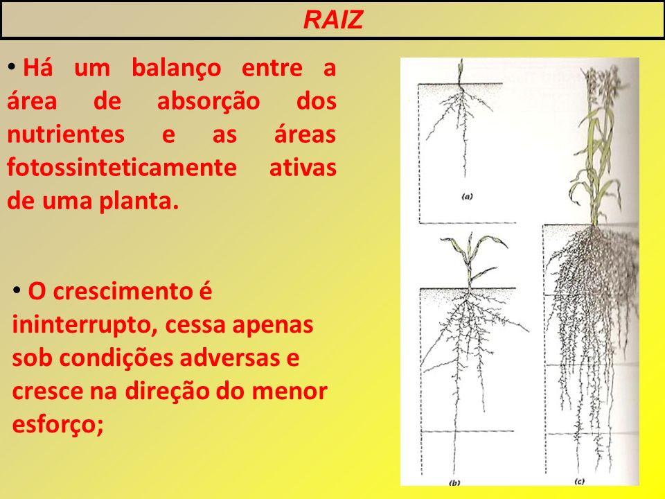 Há um balanço entre a área de absorção dos nutrientes e as áreas fotossinteticamente ativas de uma planta. O crescimento é ininterrupto, cessa apenas