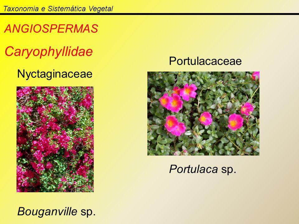 Taxonomia e Sistemática Vegetal ANGIOSPERMAS Caryophyllidae Nyctaginaceae Bouganville sp. Portulacaceae Portulaca sp.