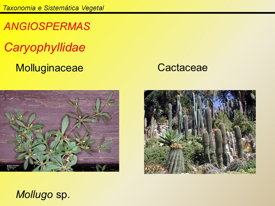 Taxonomia e Sistemática Vegetal ANGIOSPERMAS Caryophyllidae Molluginaceae Mollugo sp. Cactaceae