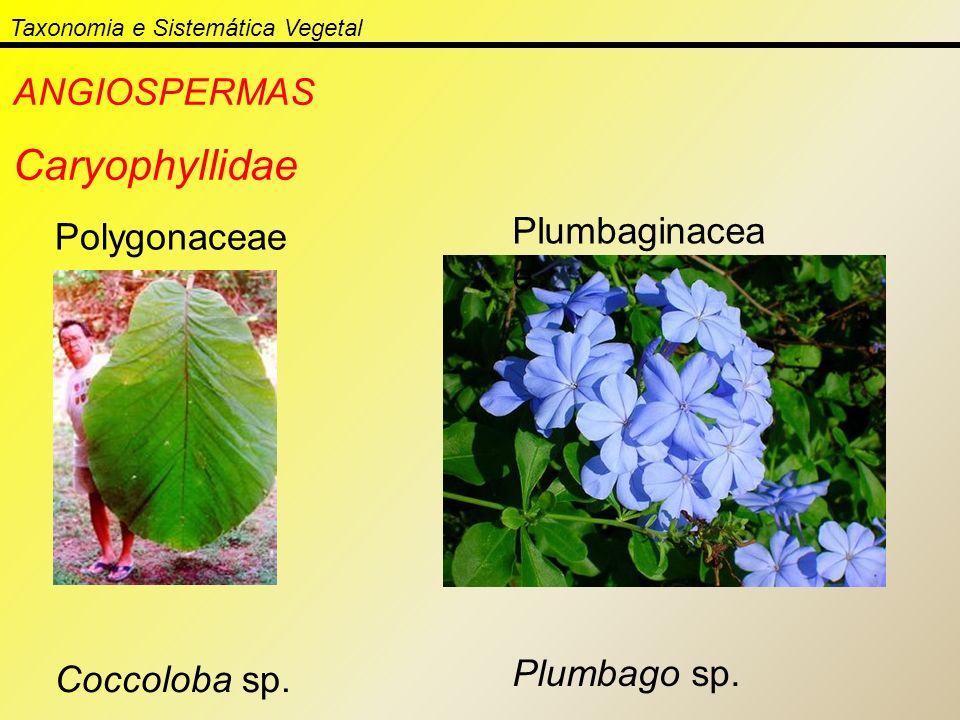 Taxonomia e Sistemática Vegetal ANGIOSPERMAS Caryophyllidae Polygonaceae Coccoloba sp. Plumbaginacea e Plumbago sp.