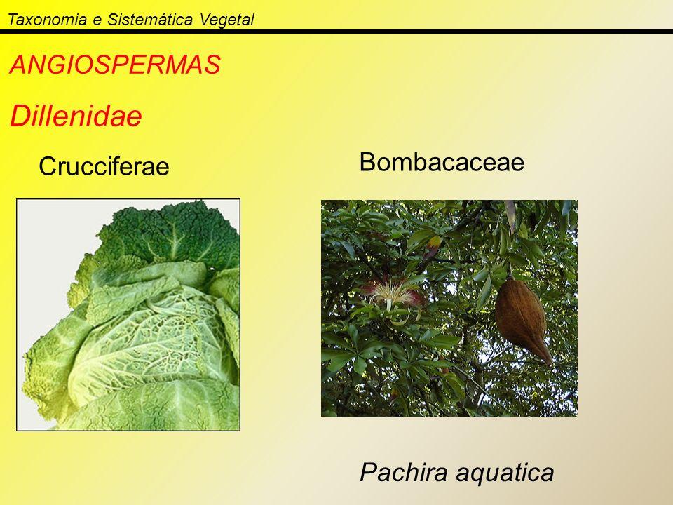 Taxonomia e Sistemática Vegetal ANGIOSPERMAS Dillenidae Crucciferae Bombacaceae Pachira aquatica