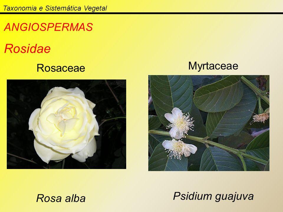 Taxonomia e Sistemática Vegetal ANGIOSPERMAS Rosidae Rosaceae Rosa alba Myrtaceae Psidium guajuva