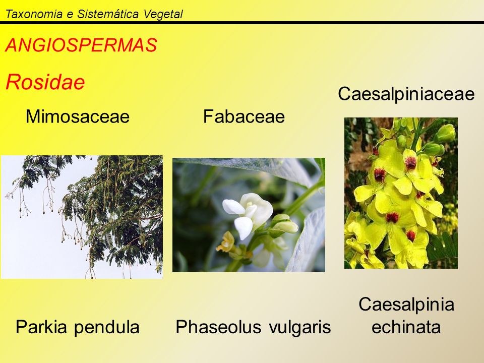 Taxonomia e Sistemática Vegetal ANGIOSPERMAS Rosidae MimosaceaeFabaceae Caesalpiniaceae Parkia pendulaPhaseolus vulgaris Caesalpinia echinata