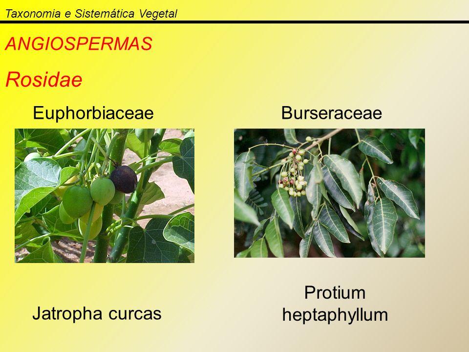 Taxonomia e Sistemática Vegetal ANGIOSPERMAS Rosidae Euphorbiaceae Jatropha curcas Burseraceae Protium heptaphyllum