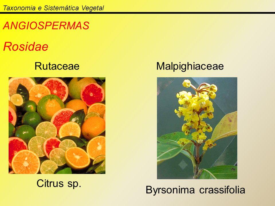 Taxonomia e Sistemática Vegetal ANGIOSPERMAS Rosidae Rutaceae Citrus sp. Malpighiaceae Byrsonima crassifolia