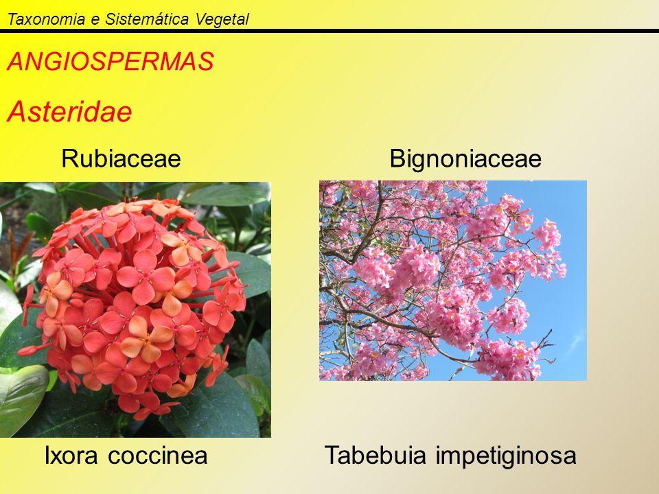 Taxonomia e Sistemática Vegetal ANGIOSPERMAS Asteridae Rubiaceae Ixora coccinea Bignoniaceae Tabebuia impetiginosa
