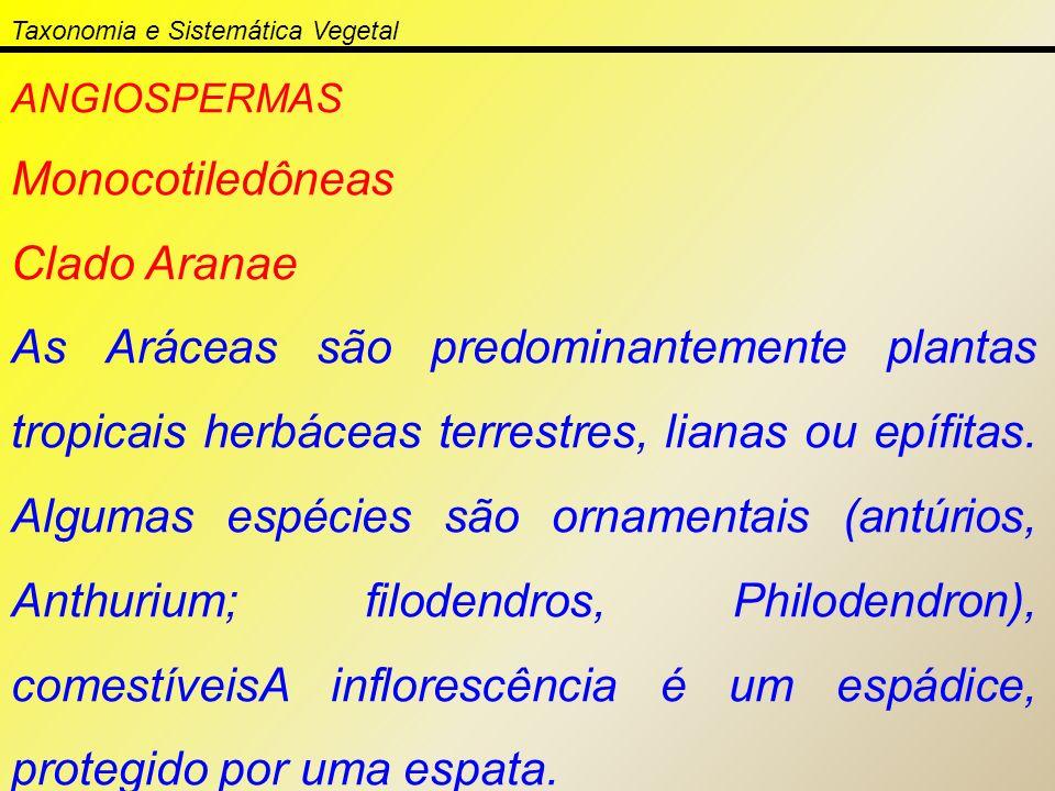 ANGIOSPERMAS Monocotiledôneas Clado Aranae As Aráceas são predominantemente plantas tropicais herbáceas terrestres, lianas ou epífitas. Algumas espéci