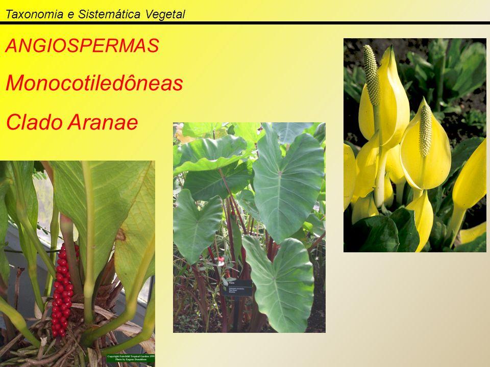 ANGIOSPERMAS Monocotiledôneas Clado Aranae Taxonomia e Sistemática Vegetal