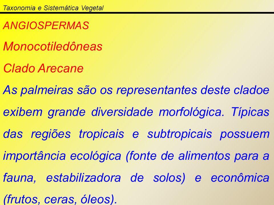 ANGIOSPERMAS Monocotiledôneas Clado Arecane As palmeiras são os representantes deste cladoe exibem grande diversidade morfológica. Típicas das regiões