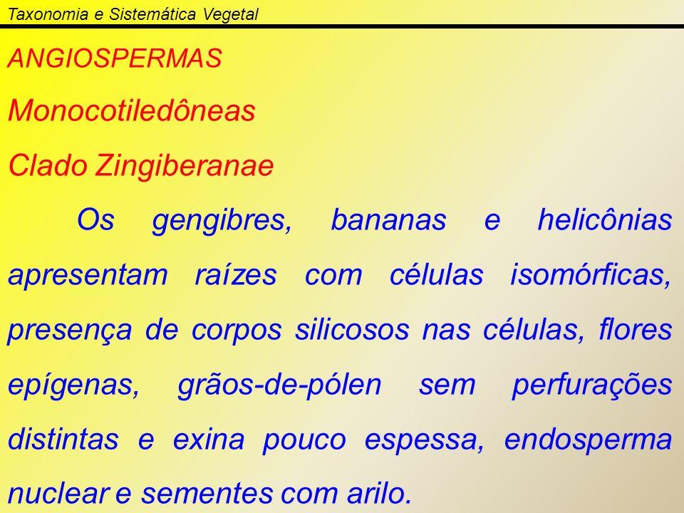 ANGIOSPERMAS Monocotiledôneas Clado Zingiberanae Os gengibres, bananas e helicônias apresentam raízes com células isomórficas, presença de corpos sili