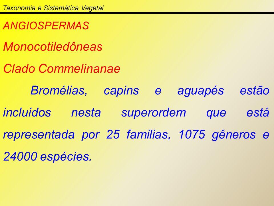 ANGIOSPERMAS Monocotiledôneas Clado Commelinanae Bromélias, capins e aguapés estão incluídos nesta superordem que está representada por 25 familias, 1