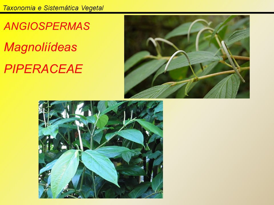 Taxonomia e Sistemática Vegetal ANGIOSPERMAS Rosidae Rutaceae Citrus sp.