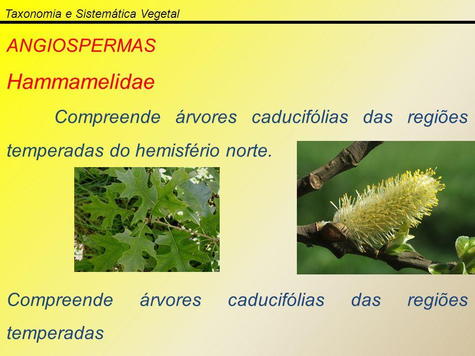 Taxonomia e Sistemática Vegetal ANGIOSPERMAS Hammamelidae Compreende árvores caducifólias das regiões temperadas do hemisfério norte. Compreende árvor