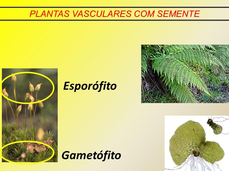 Gametófito Esporófito PLANTAS VASCULARES COM SEMENTE