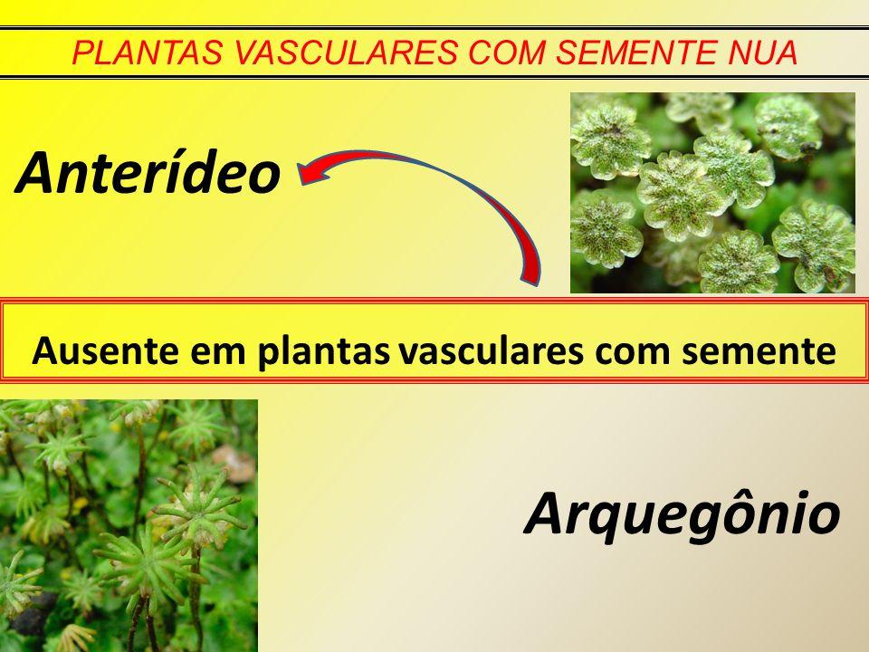 PLANTAS VASCULARES COM SEMENTE NUA Ausente em plantas vasculares com semente Anterídeo Arquegônio
