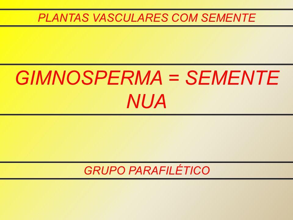 PLANTAS VASCULARES COM SEMENTE GIMNOSPERMA = SEMENTE NUA GRUPO PARAFILÉTICO