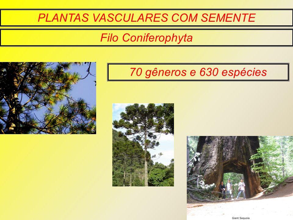 PLANTAS VASCULARES COM SEMENTE Filo Coniferophyta 70 gêneros e 630 espécies