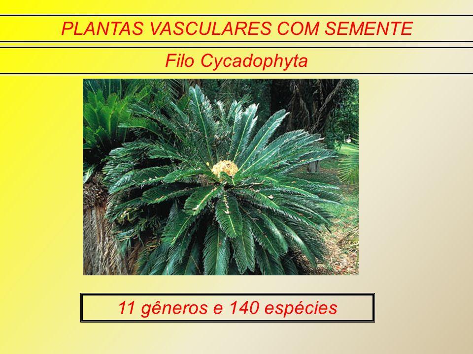 PLANTAS VASCULARES COM SEMENTE Filo Cycadophyta 11 gêneros e 140 espécies