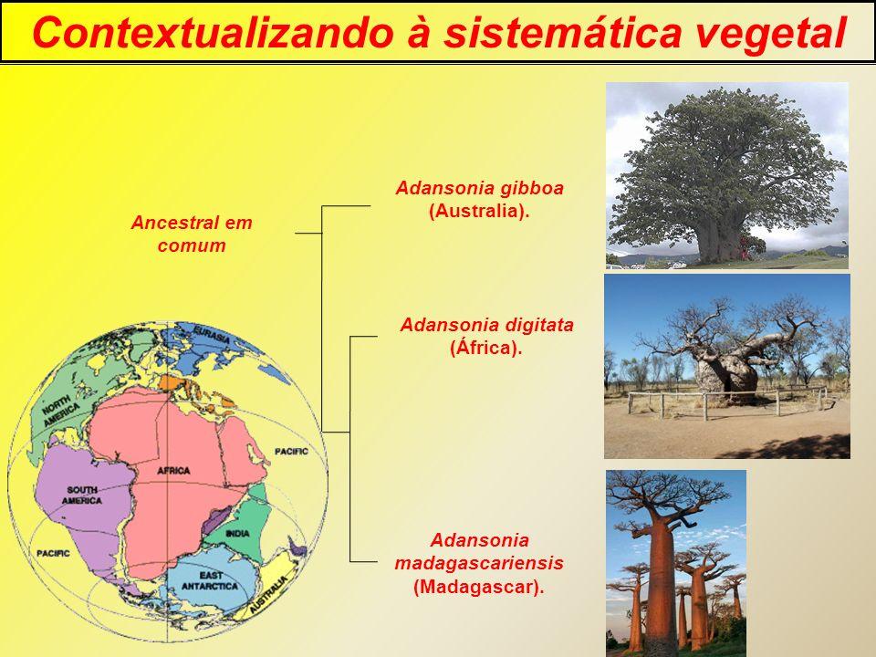 Contextualizando à sistemática vegetal Adansonia gibboa (Australia). Adansonia digitata (África). Adansonia madagascariensis (Madagascar). Ancestral e