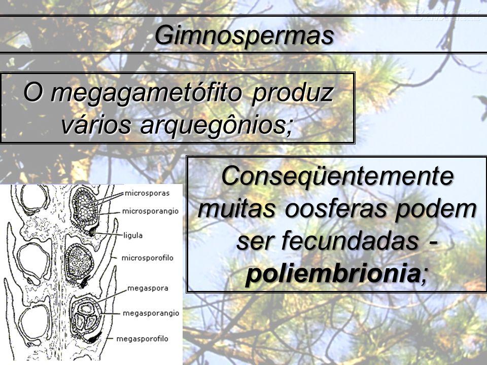 Gimnospermas O megagametófito produz vários arquegônios; Conseqüentemente muitas oosferas podem ser fecundadas - poliembrionia;