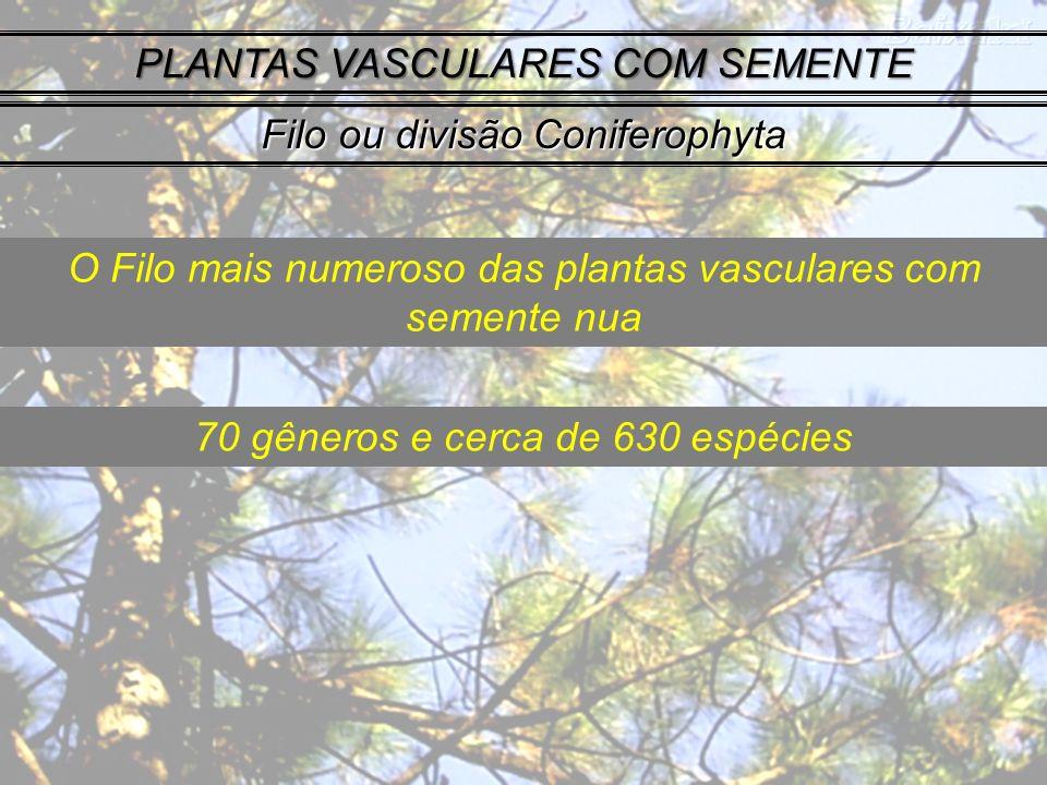 PLANTAS VASCULARES COM SEMENTE Filo ou divisão Coniferophyta O Filo mais numeroso das plantas vasculares com semente nua 70 gêneros e cerca de 630 espécies