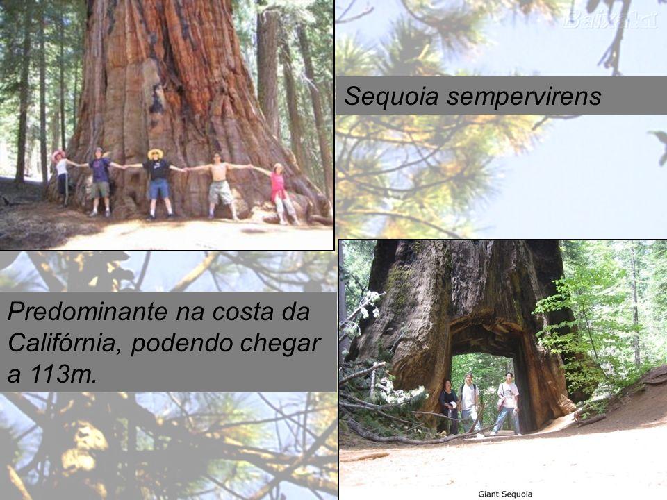 Sequoia sempervirens Predominante na costa da Califórnia, podendo chegar a 113m.