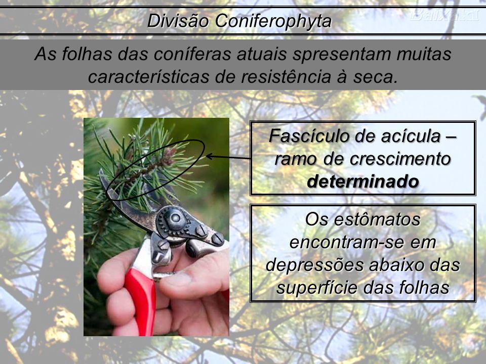 As folhas das coníferas atuais spresentam muitas características de resistência à seca. Divisão Coniferophyta Fascículo de acícula – ramo de crescimen