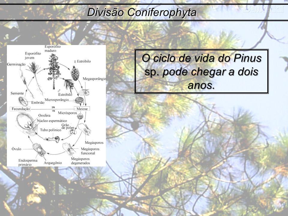 Divisão Coniferophyta O ciclo de vida do Pinus sp. pode chegar a dois anos.